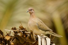 Laughing Dove / Streptopelia S...
