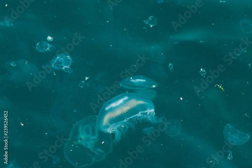 Fotografia  Jellyfish floating in the Bosphorus, Istanbul, Turkey