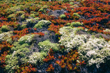 Detail Of Hillside Covered In Iceplant And Other Shrubs In Autumn, Pt. Reyes National Seashore, California, USA.