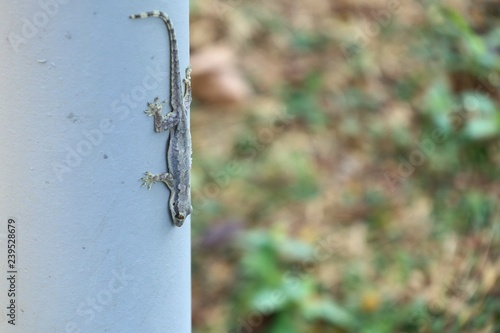 Lizard on the pole