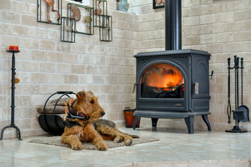 Airedale Terrier dog (1 year old), in the interior of the house (by the fireplace and woodpile)