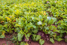 Harvest Ripe Organically Grown Beetroot From Close