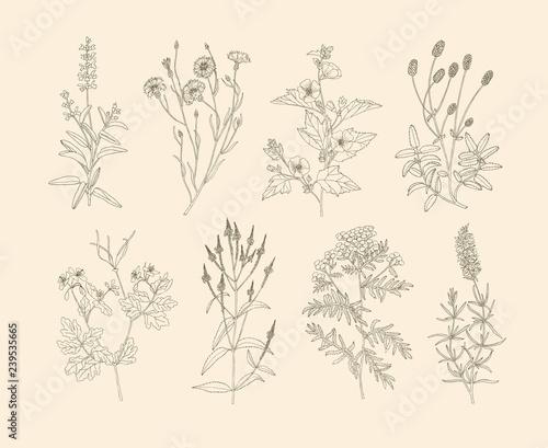 Vector medicinal herbs. Canvas Print