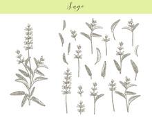 Vector Sage Plant.