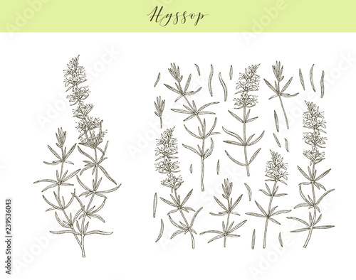 Vector hyssop herb. Canvas Print
