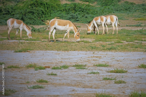 Indian Wild Asses ( Equus hemionus khur ), also known as Baluchi wild ass, in the Raan of Kutch, a  saline desert in Gujarat - the last natural sanctuary for this sub species of Wild Ass
