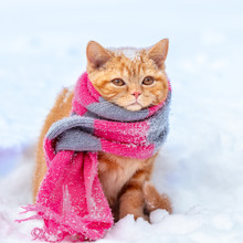 Little Red Kitten Wearing Knitted Scarf Sits On The Snow In Winter