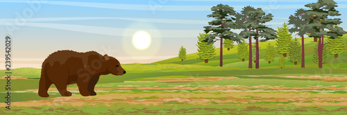 Big Brown Bear walks through the meadow. A hill with fir trees and pines on the horizon. Wild animals of Europe and America. Realistic Vector Landscape