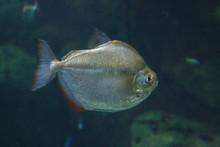 Silver Dollar Fish (Metynnis A...