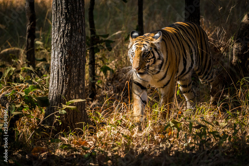 Fotoposter Tijger A sub-adult female tiger on a territory marking in a winter morning at Bandhavgarh Tiger Reserve, India