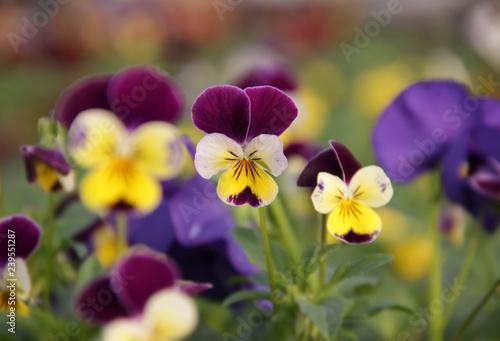 Fotografie, Obraz  Fleurs de Viola