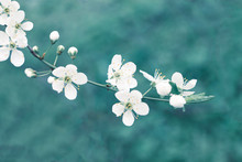 Beautiful Springtime Nature Background Blue Toned. White Apple Tree Blossom Branch, Pastel Teal Colored Empty Space, Soft Focus.