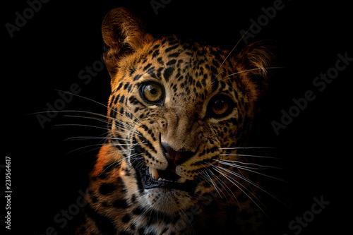 Recess Fitting Leopard Ceylon leopard