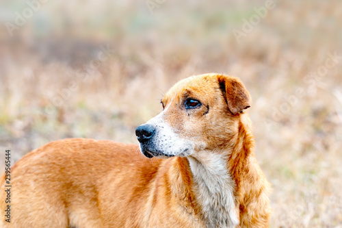 Foto  hunting dog with wounds on his face, after a battle with animals looks around looking for his prey
