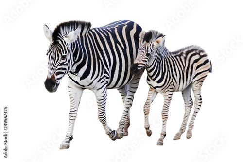 Photo Stands Zebra Mother and child zebra isolated on white background
