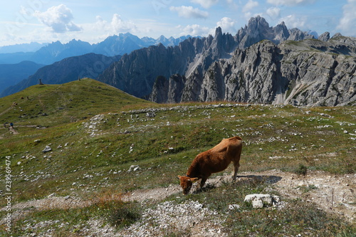 Photo sur Aluminium Népal Alpine fields with cows