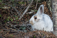Snowshoe Hare Transition- Wint...