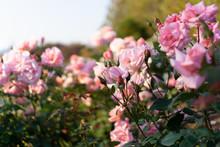 Pink Roses In Flower Garden Ag...