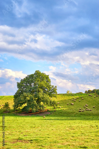 Fotografiet  Meadow on a hill with sheep and an old tree.