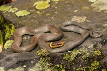 Northern Ring Neck Snake - Dia...