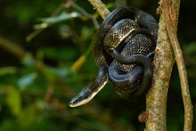 Eastern Rat Snake Wrapped Around A Branch - Pantherophis Alleghaniensis