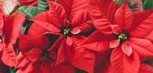 Red Poinsettia Flowers, Euphorbia Pulcherrima, Christmas Background