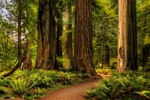 Sunlight In The Redwoods
