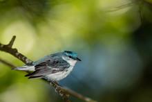 Male Cerulean Warbler - Setoph...