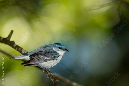 Photo Male cerulean warbler - Setophaga cerulea