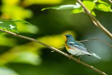 Beautiful Northern Parula Warbler - Setophaga Americana