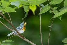 Northern Parula Singing To Defend Its Territory - Setophaga Americana