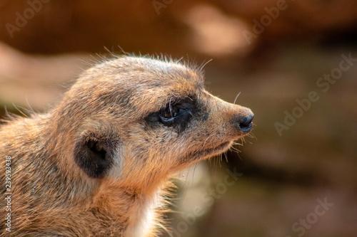 Fotografie, Obraz  Little meerkat