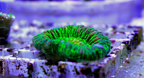 Isolated Open brain LPS coral