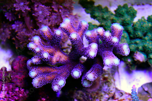 Fototapeta premium Fioletowy koral Stylophora (Stylophora pistillata)