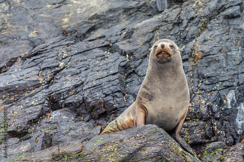 Fotografie, Obraz  Chanaral Island at Chanaral de Aceituno in Atacama Desert, Chile, is an amazing place for seeing wildlife like the South American Fur Seal, a nice sea lion