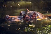 Hippo Under Water Looking