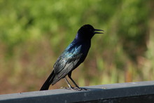 Black Grackle Songbird With Blurred Background