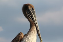 Pelican Portrait With Blue Sky And Clouds Background