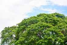 Spring Time, Top Of Large Eastindian Walnut, Raintree Or Samanea Saman Green Tree With Blue Sky And Clouds Background, Copy Space, Eco Friendly Concept