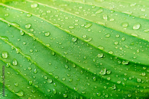 Closeup green leaf texture with raindrop. Fresh nature background. - 239619056
