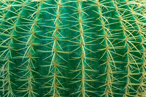 Keuken foto achterwand Cactus Abstract background from close-up of cactus with thorns pattern. Green nature backdrop. Plant and agriculture.