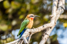 White-fronted Bee-eater (Merop...