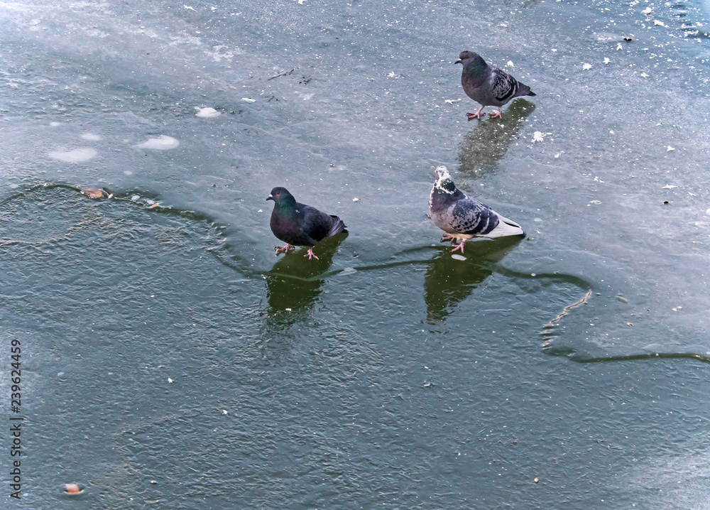 pigeons on the thin ice of a recently frozen river
