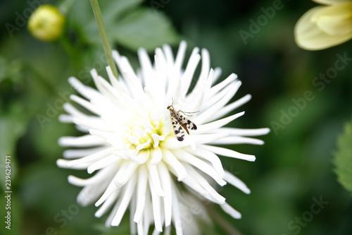 Fliege an einer Dahlie