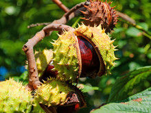 Rosskastanien, Aesculus Hippocastanum, Im Herbst