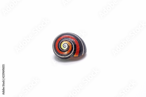 Fotografija Cuban snail (Polymita picta) : Most colorful land snail from Cuba, Cuban land snail isolated on white background