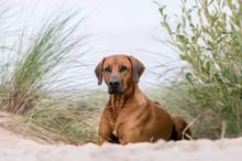 Rhodesian Ridgeback Dog Lying On A Sea Beach.