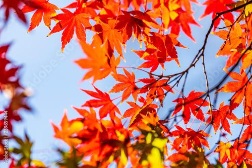秋のもみじ Japanese maple leaf