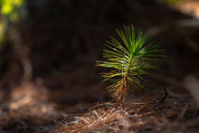 Pine Seedlings In The Shade Of Large Early Growth Of Tree.