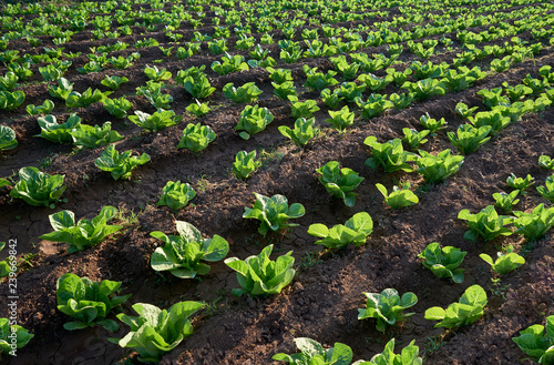 Fototapeta organic seedling or sapling lettuces in the field, lettuce cultivation, green leaves obraz